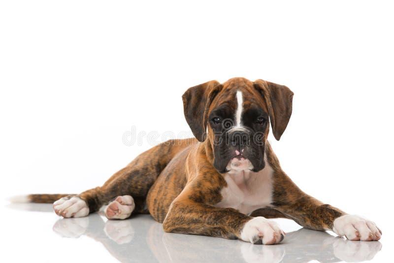 在白色隔绝的说谎的拳击手小狗 免版税库存照片