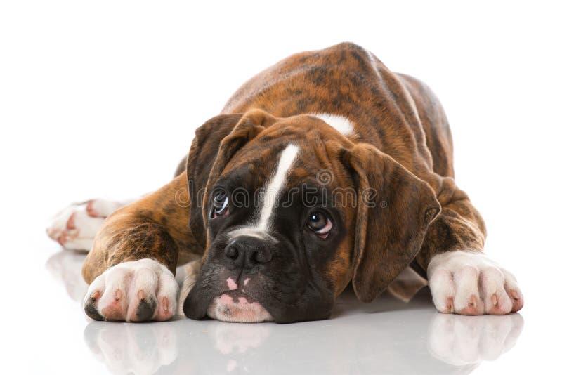 在白色隔绝的说谎的拳击手小狗 图库摄影