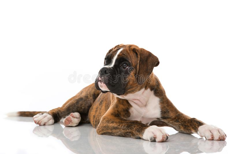 在白色隔绝的说谎的拳击手小狗 免版税图库摄影