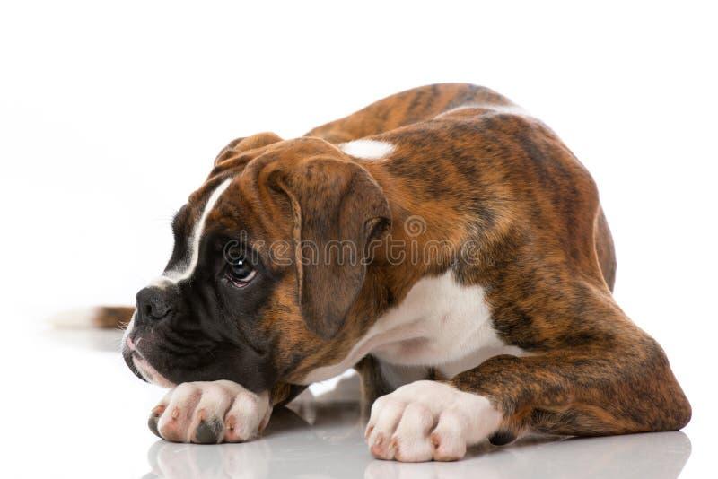 在白色隔绝的说谎的拳击手小狗 免版税库存图片