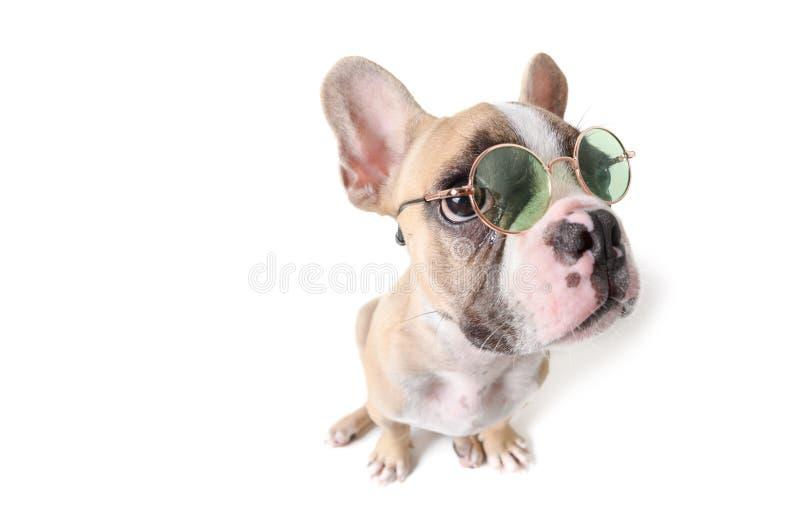在白色隔绝的逗人喜爱法国牛头犬选址 免版税库存图片