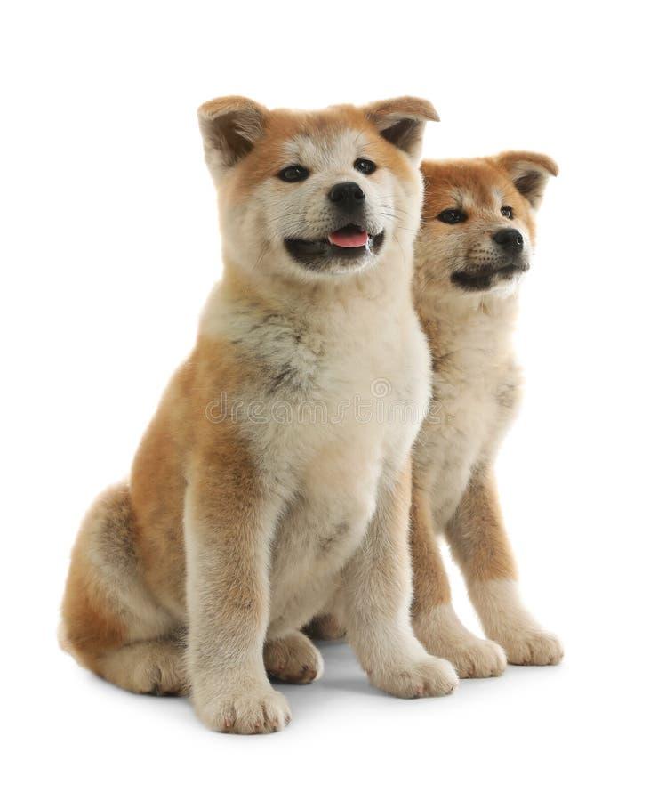 在白色隔绝的逗人喜爱的秋田inu小狗 库存图片