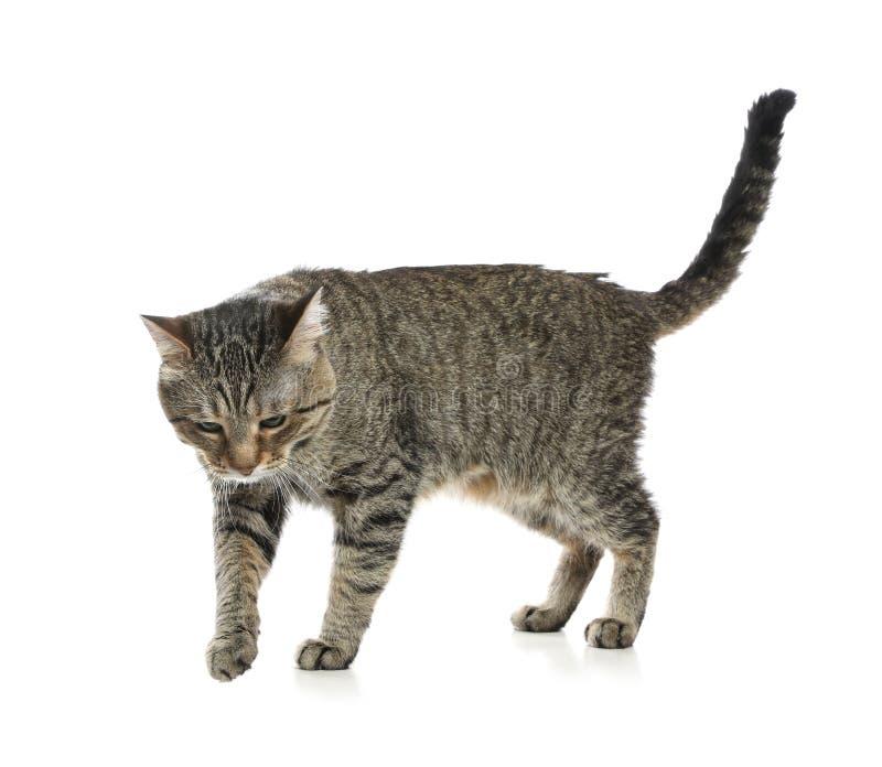 在白色隔绝的逗人喜爱的虎斑猫 库存照片