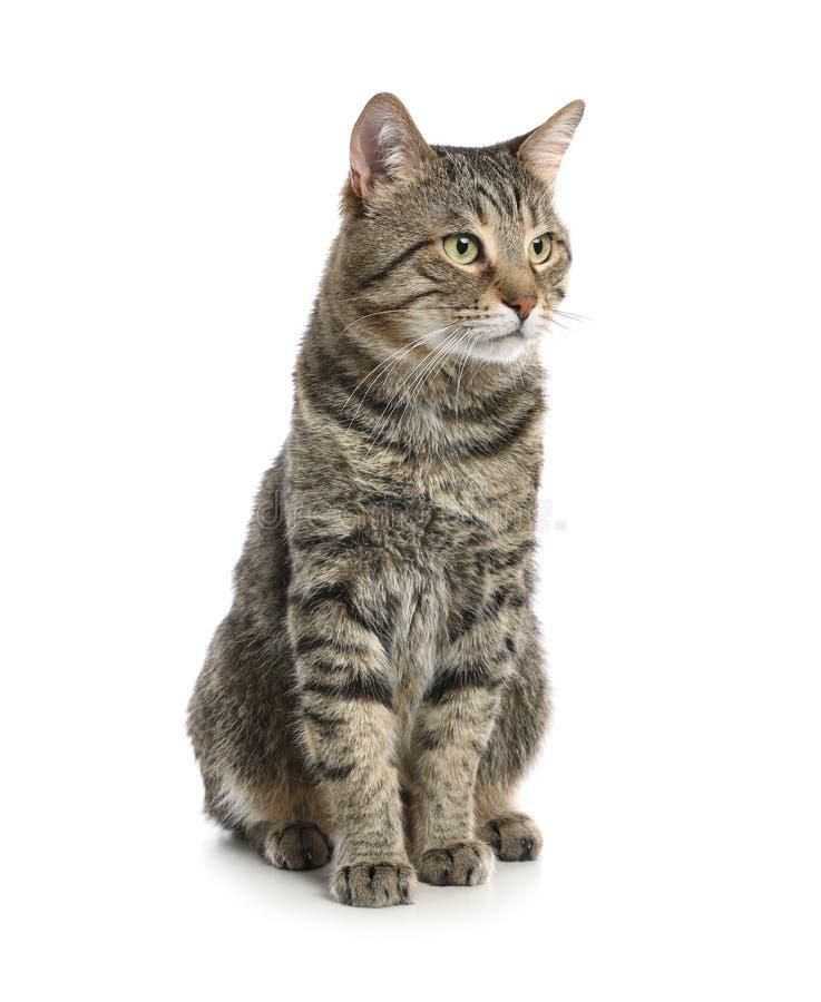 在白色隔绝的逗人喜爱的虎斑猫 免版税库存图片