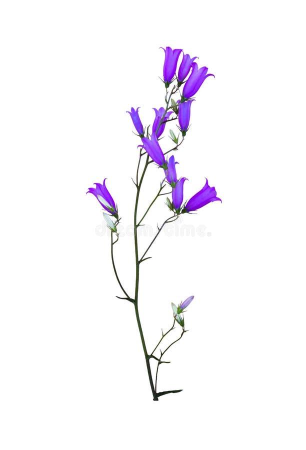 在白色隔绝的野花会开蓝色钟形花的草 免版税库存照片