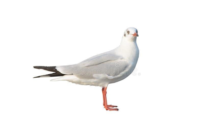 在白色隔绝的飞行海鸥 免版税库存照片