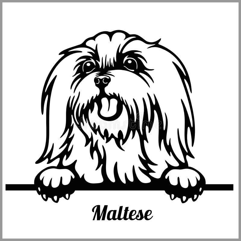 在白色隔绝的马尔他-偷看狗- -品种面孔头 向量例证