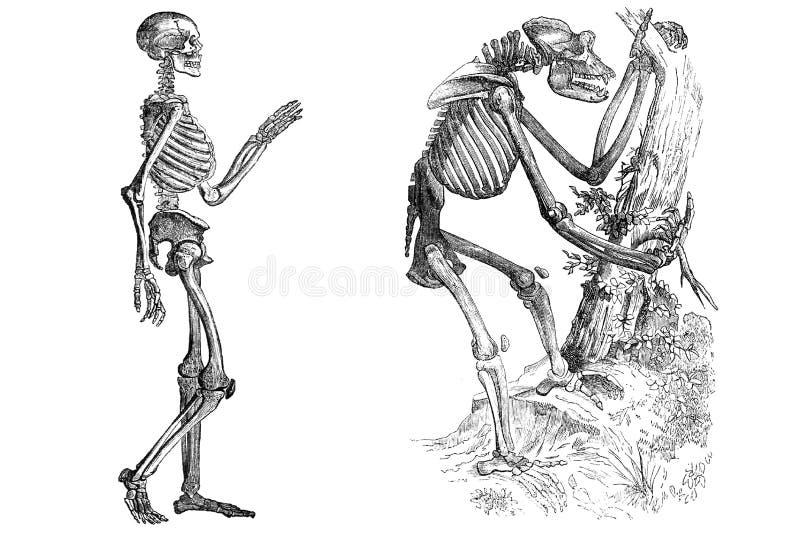 在白色隔绝的骨骼 库存例证