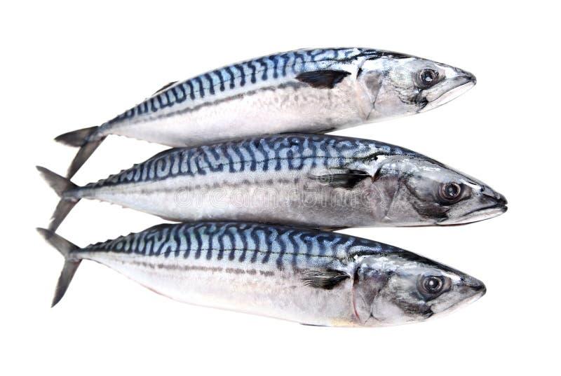 在白色隔绝的鲭鱼生鱼 免版税库存图片