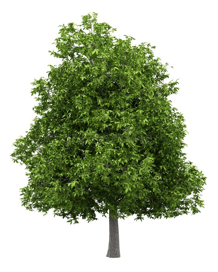在白色隔绝的鳄梨树 向量例证