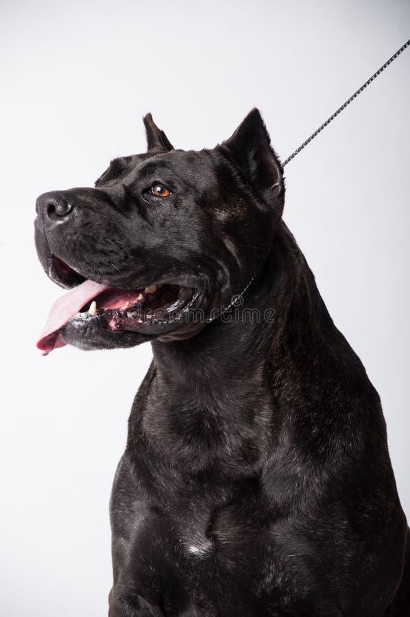 在白色隔绝的黑大型猛犬 免版税库存照片