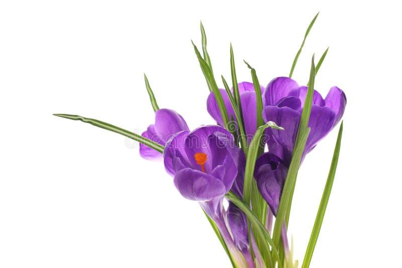 在白色隔绝的Crocusses紫色 库存图片