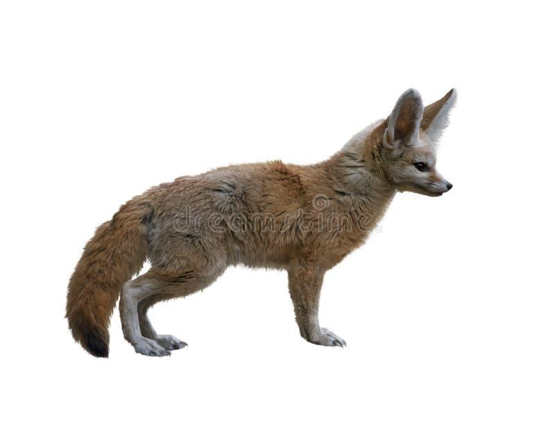 在白色隔绝的Fennec Fox 免版税库存图片