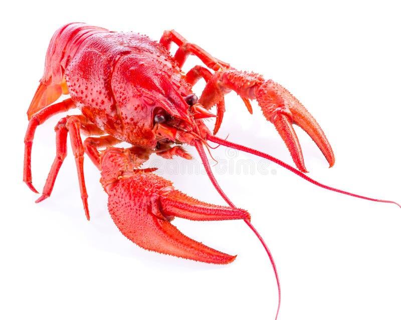 在白色隔绝的一个红色小龙虾,特写镜头,宏指令 图库摄影