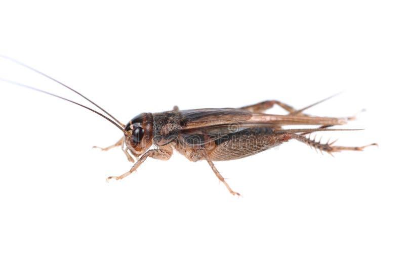 在白色隔绝的一只蟋蟀 免版税图库摄影