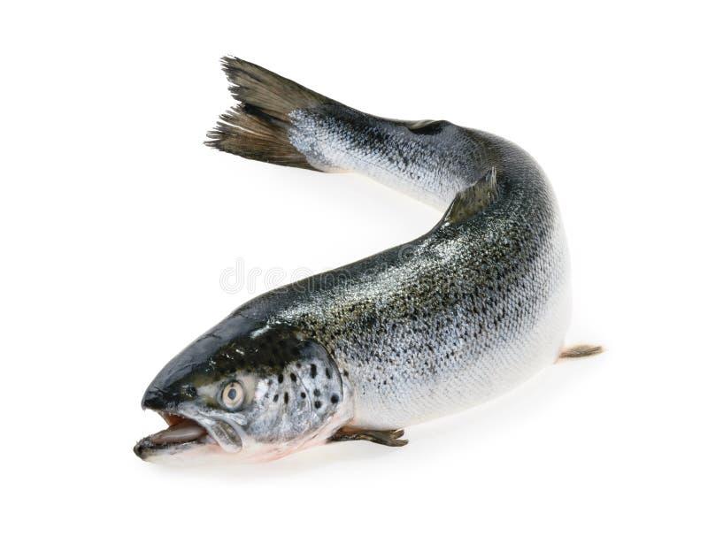 在白色隔绝的三文鱼鱼 库存照片