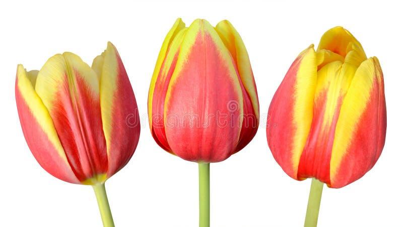 在白色隔绝的三朵郁金香花的汇集 免版税库存图片