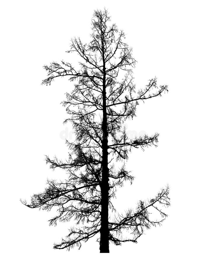 在白色隔绝的不生叶的落叶松属树 库存图片