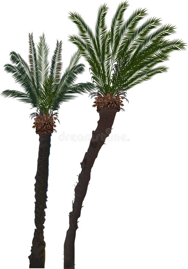 在白色隔绝的两棵高棕榈树 库存例证