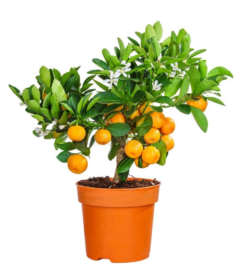 Download 在白色隔绝的中国柑桔树 库存图片. 图片 包括有 食物, 查出, 柠檬, 背包, 柑橘, 花卉, 空白, 叶子 - 72360877