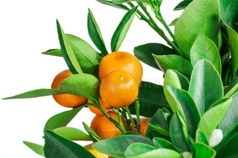 Download 在白色隔绝的中国柑桔树 库存照片. 图片 包括有 热带, 蜜桔, 柠檬, 空白, 橙色, 增长, 问题的 - 72361336