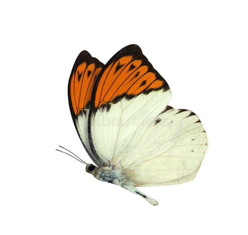 在白色隔绝的伟大的橙色技巧蝴蝶 免版税库存照片