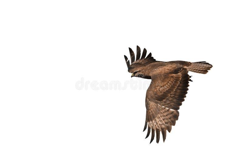 在白色隔绝的共同的肉食鵟鸟 图库摄影
