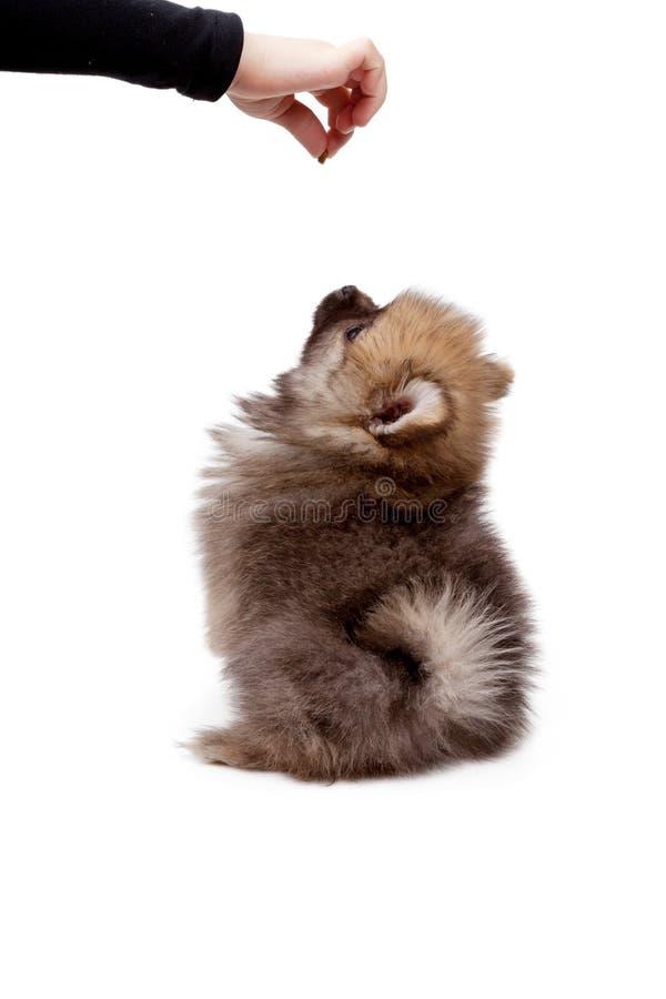 在白色隔绝的哺养的pomeranian小狗 库存图片