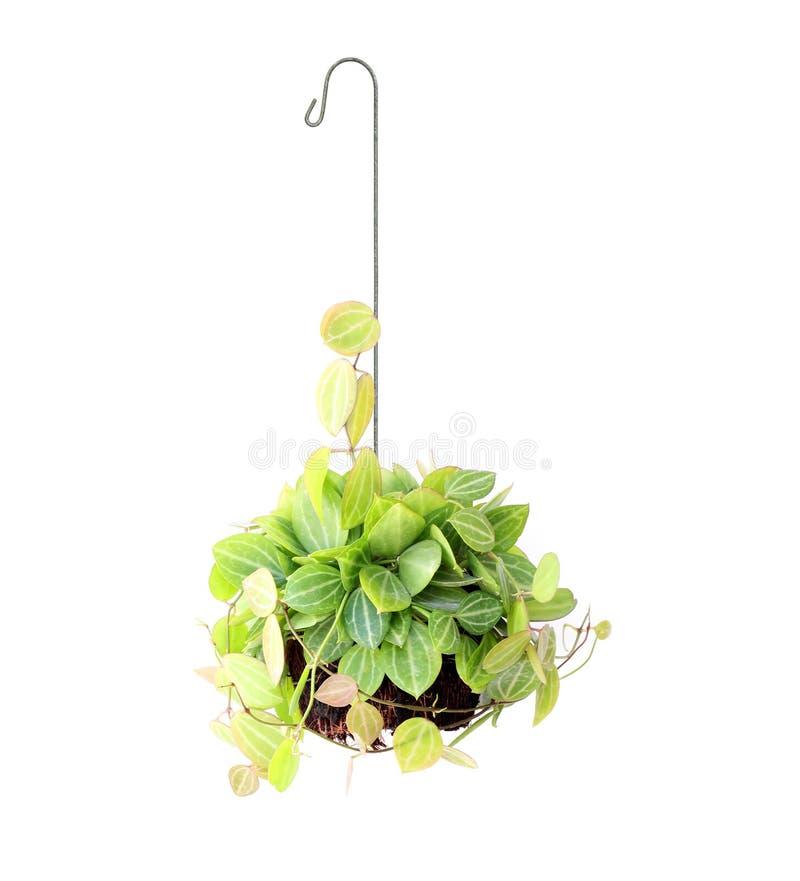 在白色隔绝的垂悬的篮子植物 免版税库存照片