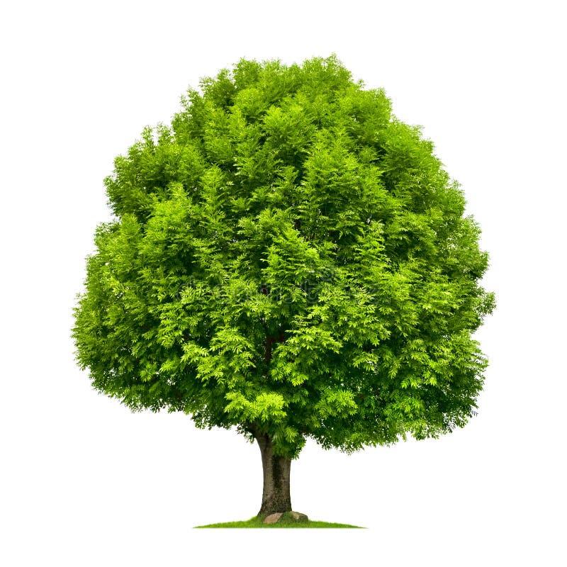 在白色隔绝的完善的树 免版税库存图片