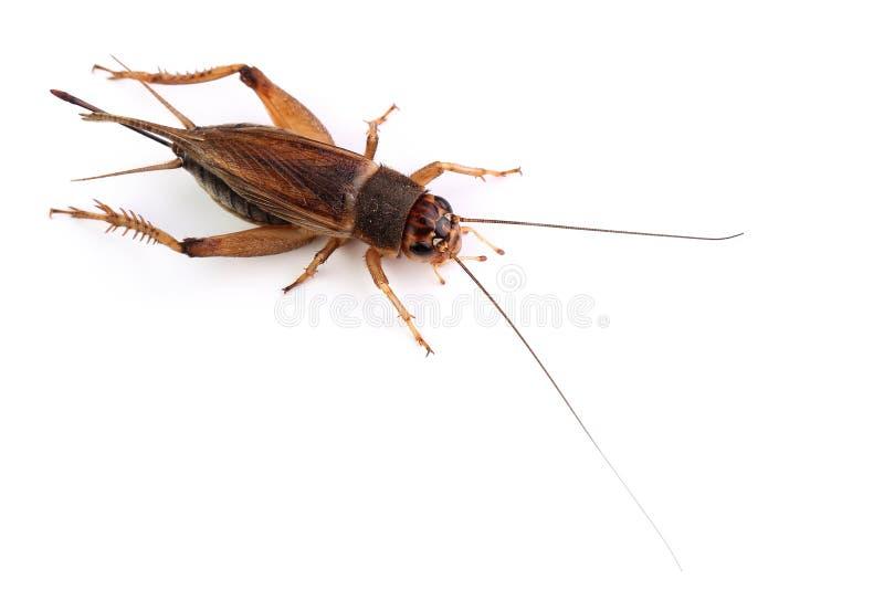 在白色隔绝的家蟋蟀 库存照片