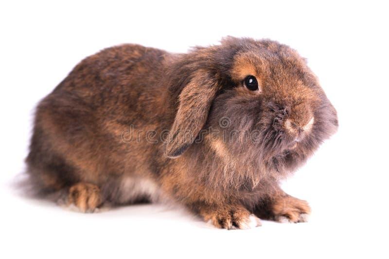 在白色隔绝的布朗法国Lop兔子 库存照片