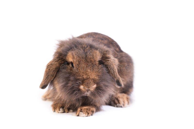 在白色隔绝的布朗法国Lop兔子 免版税库存图片