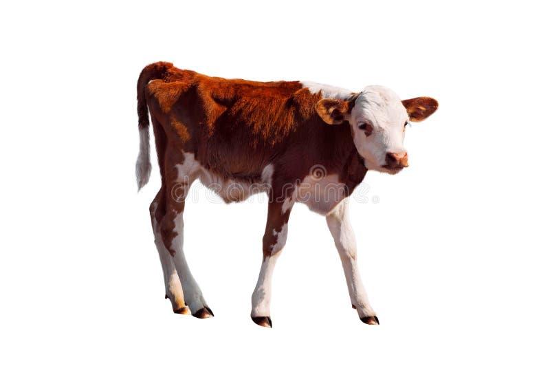 在白色隔绝的幼小小牛 免版税库存图片