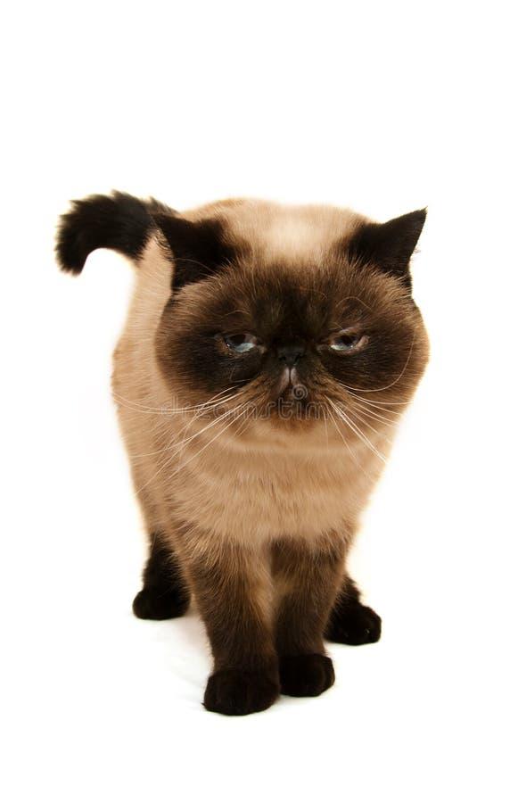 在白色隔绝的异乎寻常的Shorthair猫 免版税库存图片