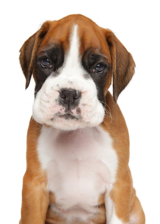 在白色隔绝的德国拳击手小狗 免版税库存图片
