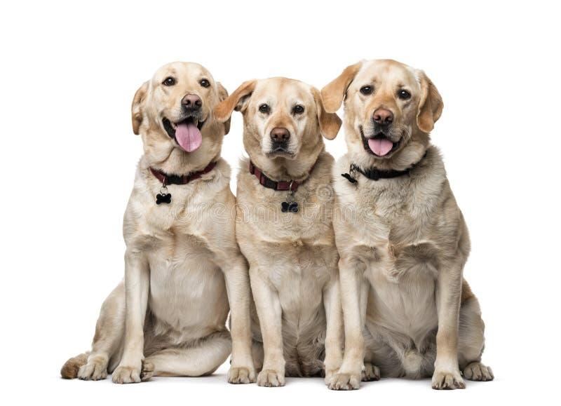在白色隔绝的拉布拉多猎犬 免版税库存图片