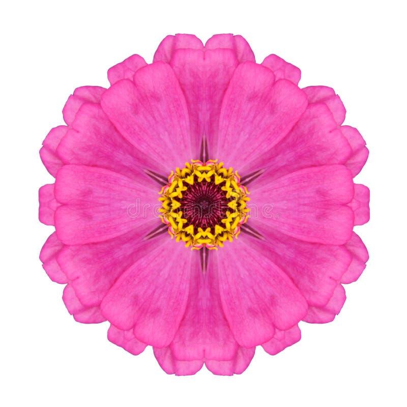 在白色隔绝的桃红色百日菊属Elegans花万花筒 免版税库存图片