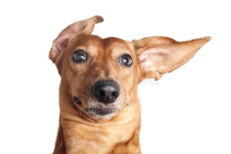 在白色隔绝的棕色达克斯猎犬狗疯狂的画象  免版税库存图片
