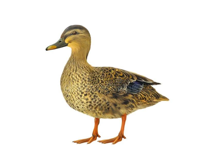 在白色隔绝的母野鸭鸭子 向量例证
