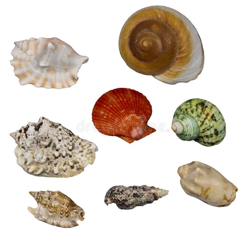 在白色隔绝的海壳 库存图片