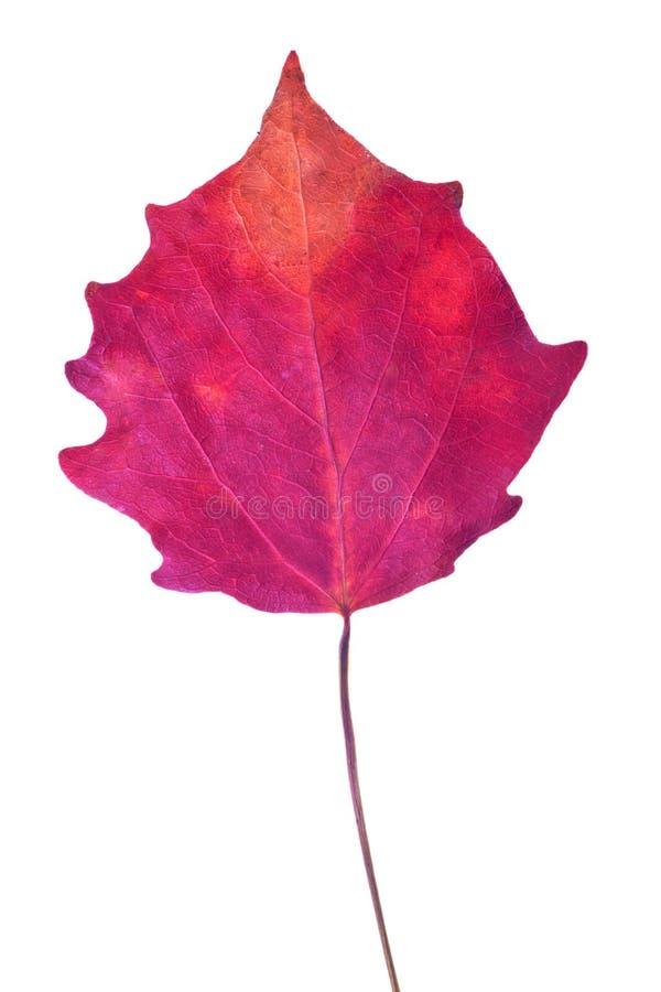 在白色隔绝的深红白杨木秋天叶子 库存照片