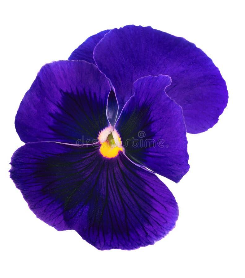 在白色隔绝的深蓝蝴蝶花开花 免版税库存照片