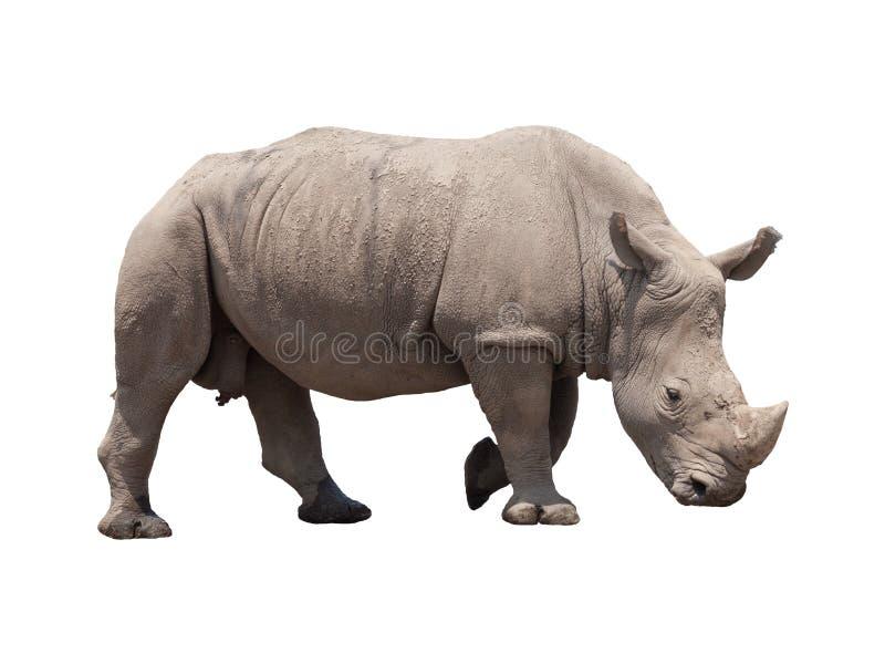 在白色隔绝的犀牛 免版税库存照片