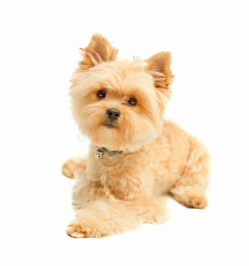 在白色隔绝的约克夏狗 库存照片
