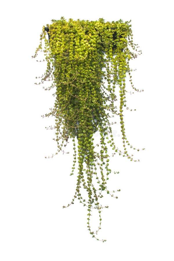 在白色隔绝的罐的绿色盆的植物 库存图片