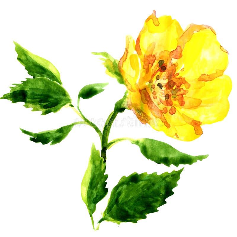 在白色隔绝的美丽的黄色花 皇族释放例证