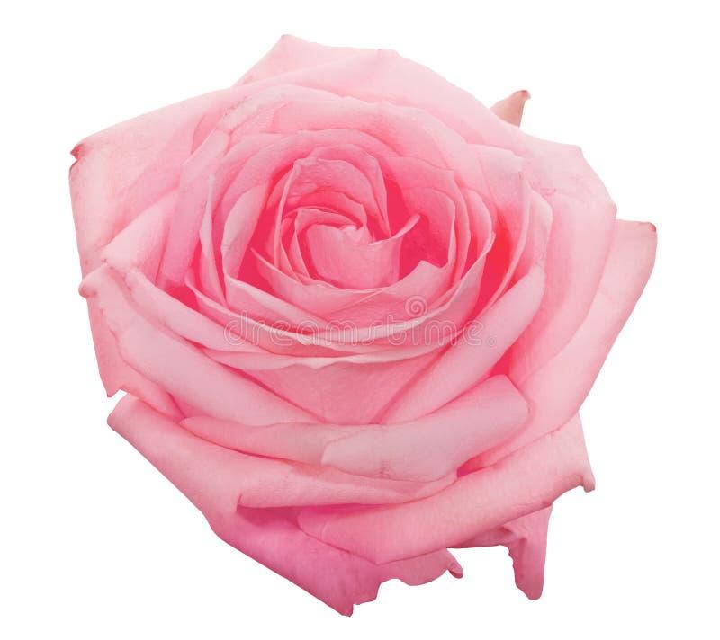 在白色隔绝的美好的浅粉红色的玫瑰色绽放 库存照片