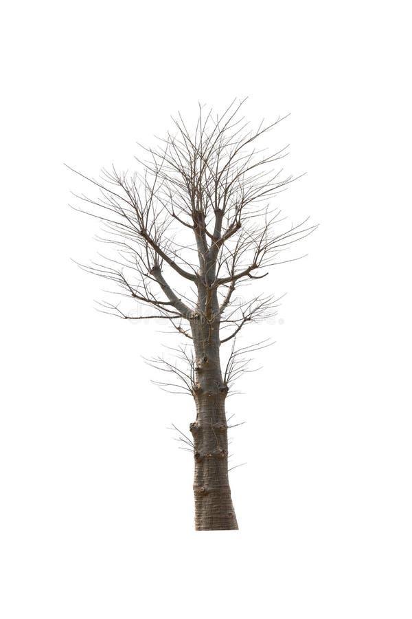 在白色隔绝的老和死的树 免版税图库摄影