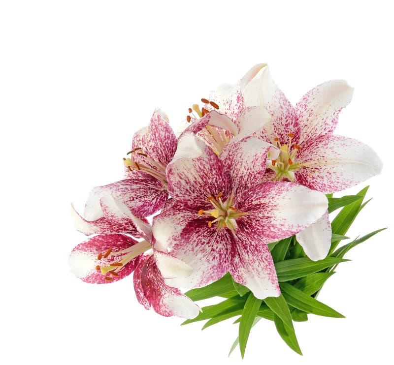 在白色隔绝的老虎lillies 库存图片